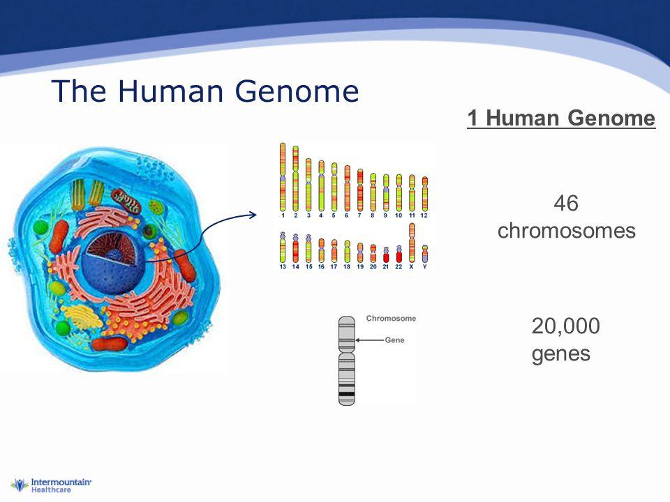 The Human Genome 1 Human Genome 46 chromosomes 20,000 genes