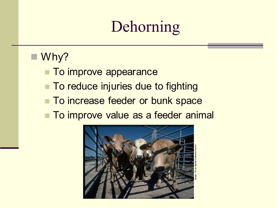 Dehorning Why To improve appearance