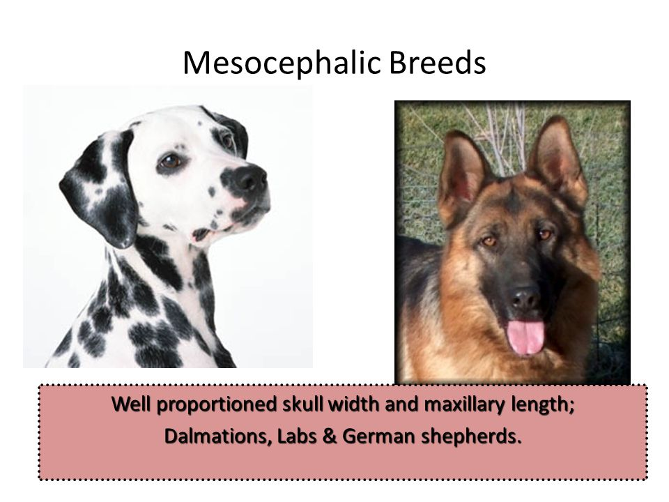 Mesocephalic Breeds Well proportioned skull width and maxillary length; Dalmations, Labs & German shepherds.