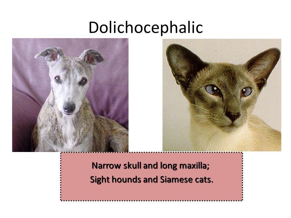 Dolichocephalic Narrow skull and long maxilla;