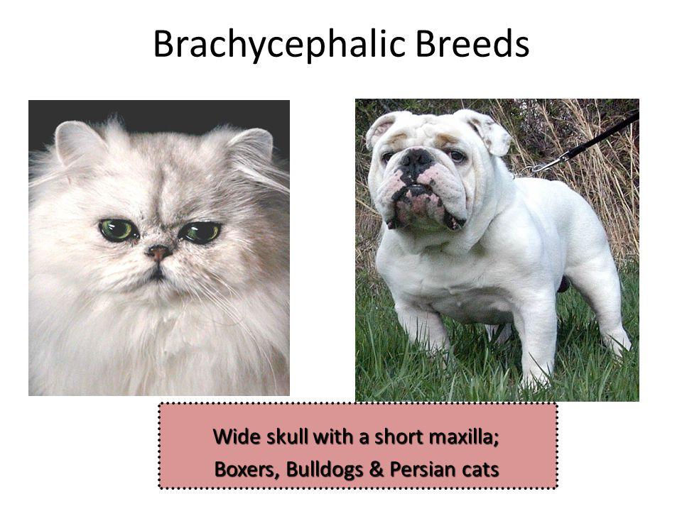 Brachycephalic Breeds