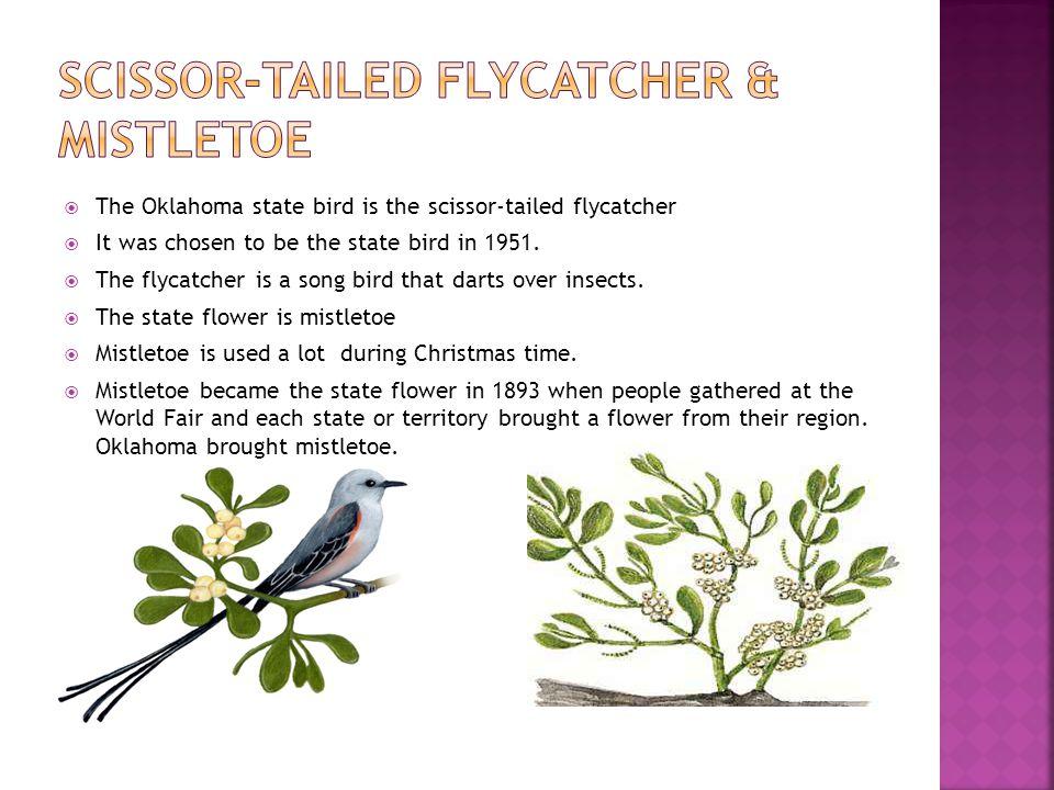 Scissor-tailed flycatcher & Mistletoe