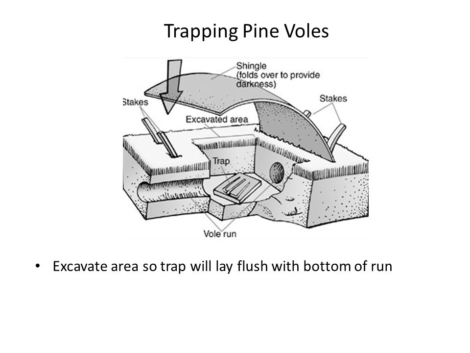 Trapping Pine Voles Excavate area so trap will lay flush with bottom of run