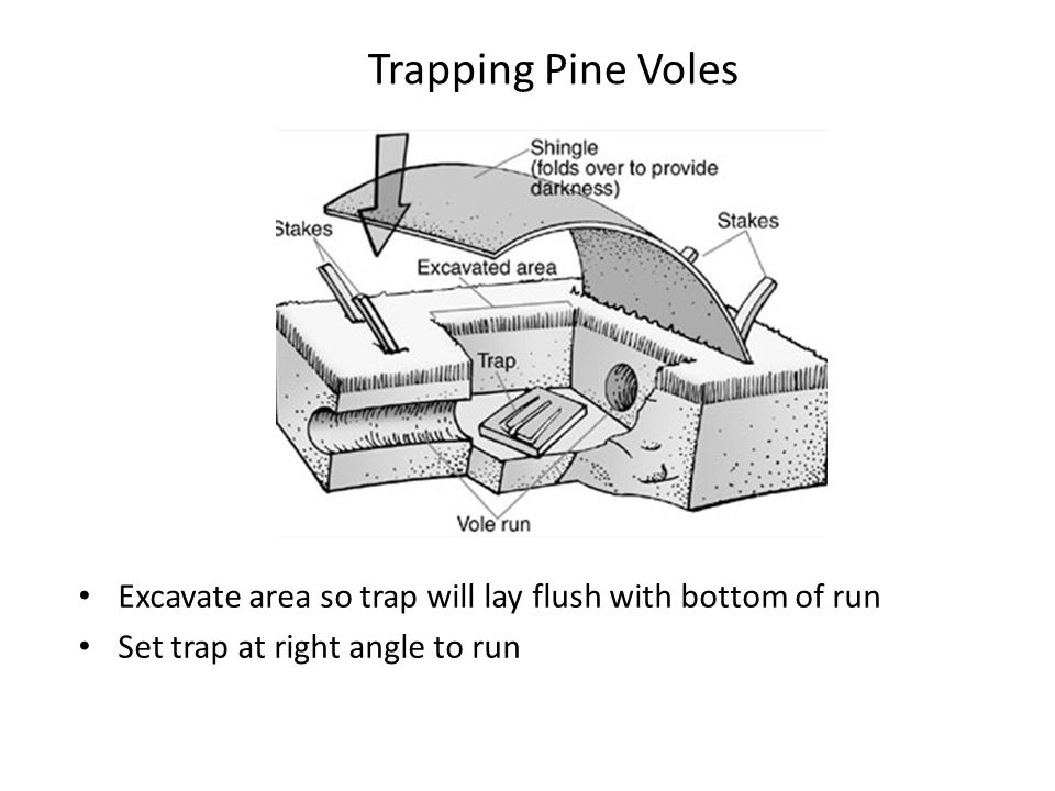 Trapping Pine Voles Excavate area so trap will lay flush with bottom of run.