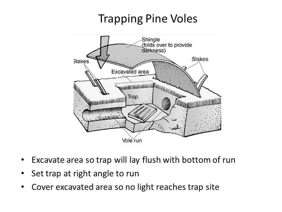 Trapping Pine Voles Excavate area so trap will lay flush with bottom of run. Set trap at right angle to run.