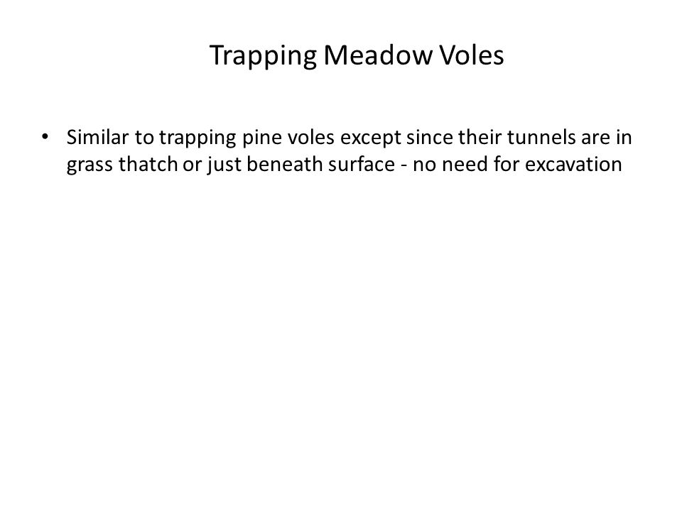 Trapping Meadow Voles Similar to trapping pine voles except since their tunnels are in grass thatch or just beneath surface - no need for excavation.