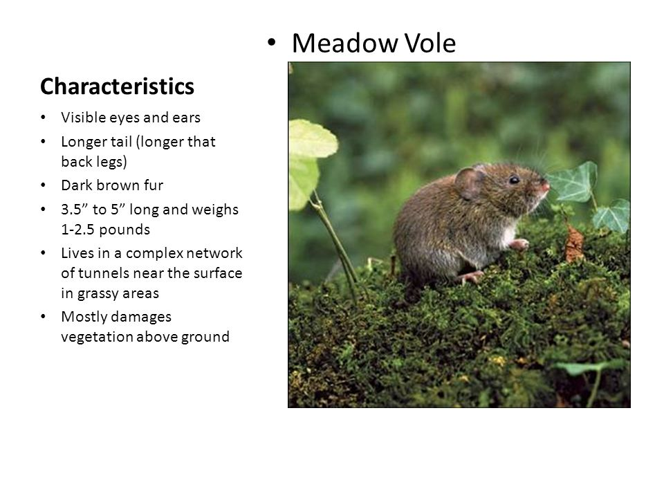 Meadow Vole Characteristics Visible eyes and ears