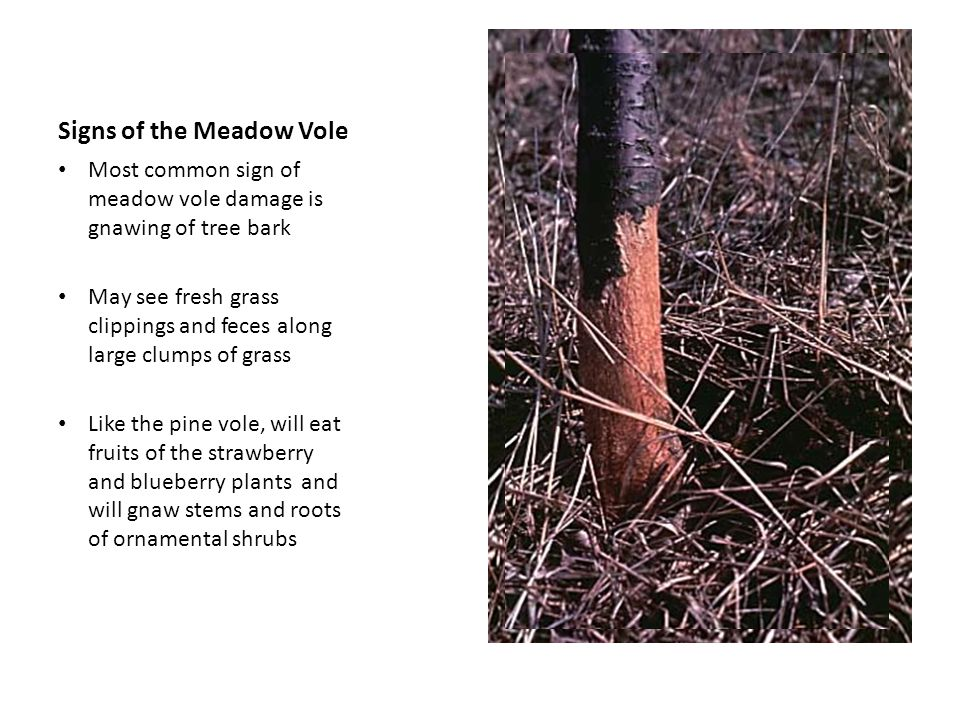 Signs of the Meadow Vole
