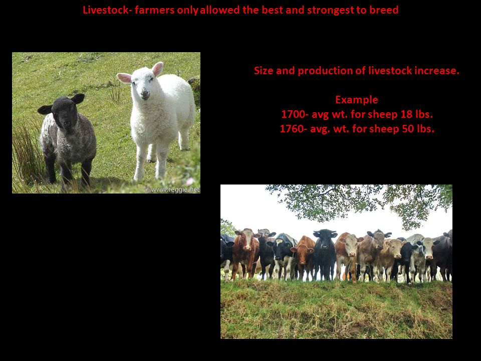 Livestock- farmers only allowed the best and strongest to breed