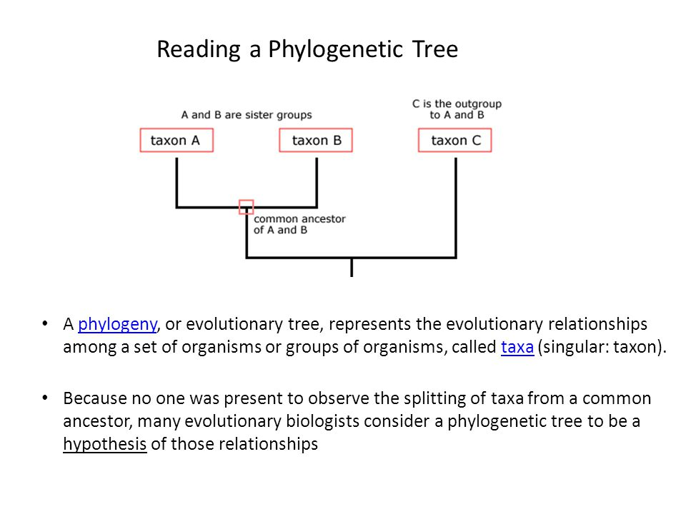 Reading a Phylogenetic Tree