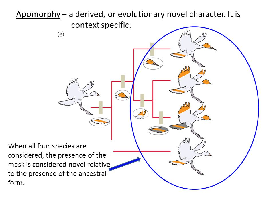 Apomorphy – a derived, or evolutionary novel character