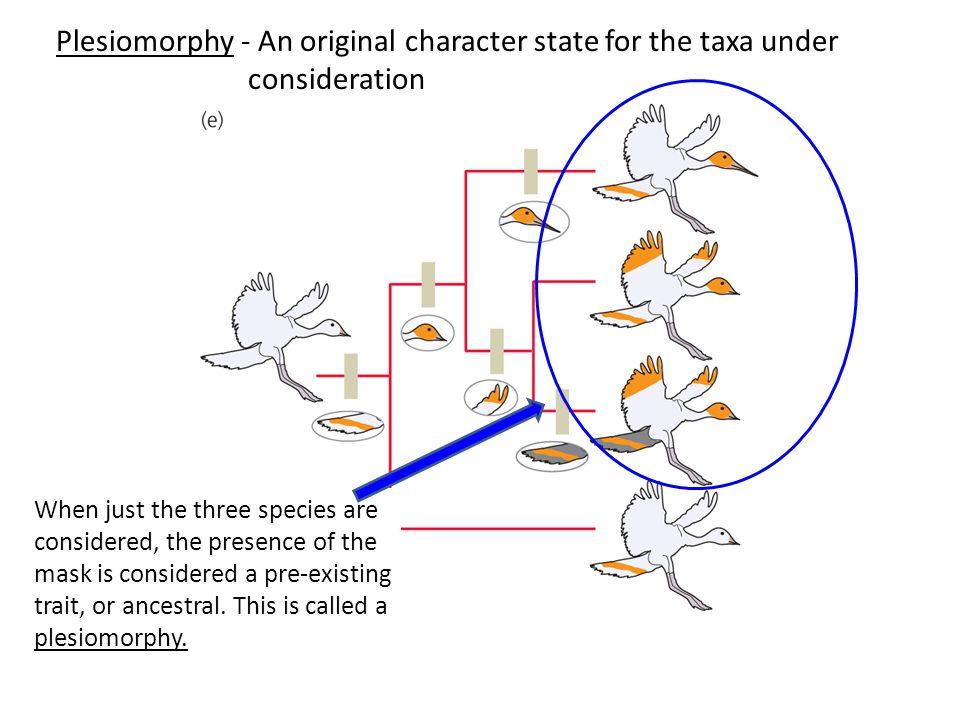 Plesiomorphy - An original character state for the taxa under consideration