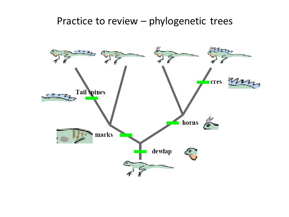 Practice to review – phylogenetic trees