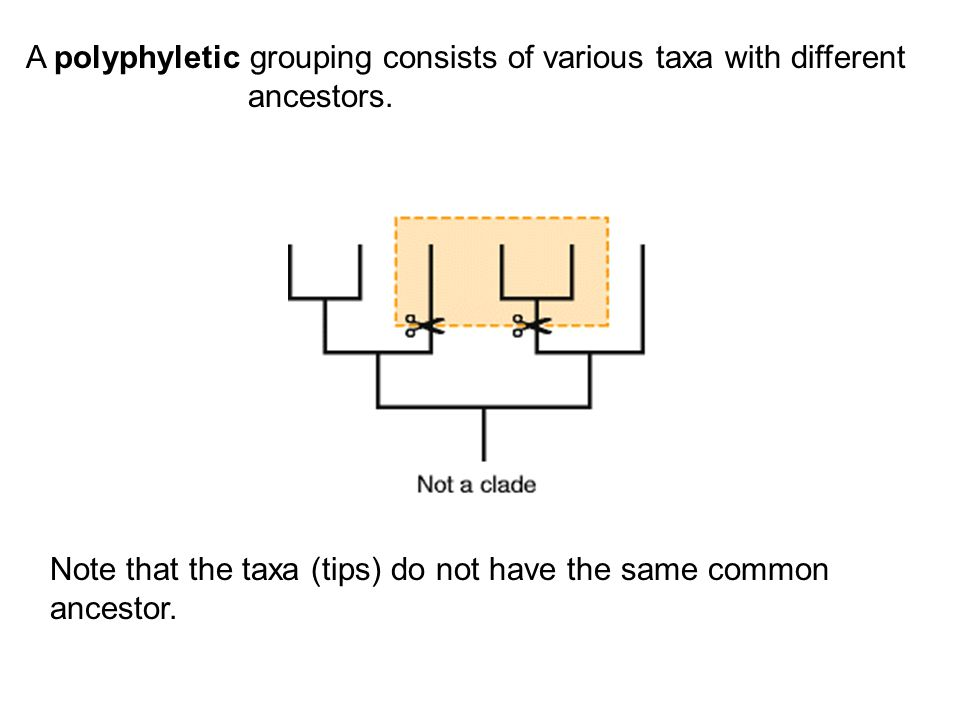 Note that the taxa (tips) do not have the same common ancestor.