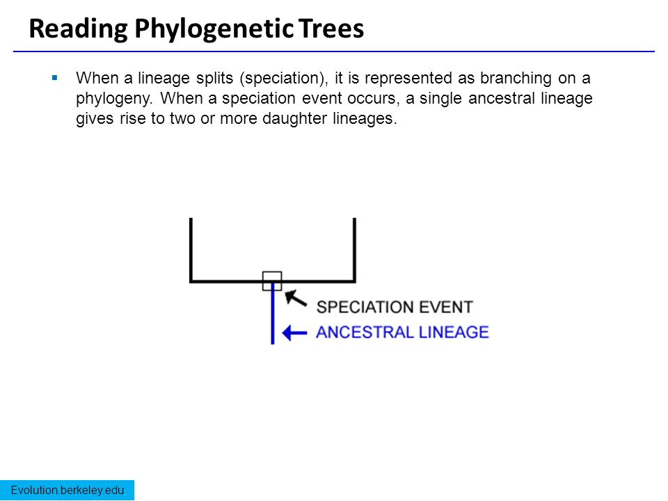 Reading Phylogenetic Trees
