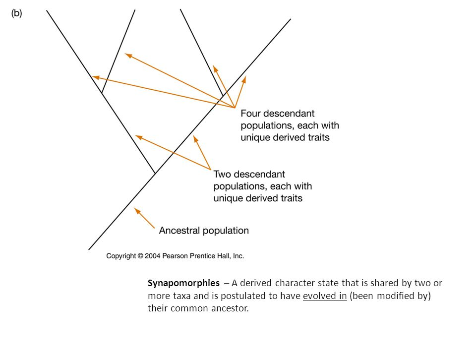 Synapomorphies – A derived character state that is shared by two or more taxa and is postulated to have evolved in (been modified by) their common ancestor.