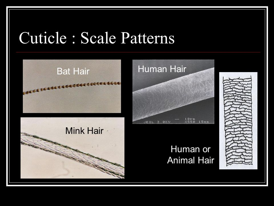 Cortex: Color Layer Largest part of hair shaft
