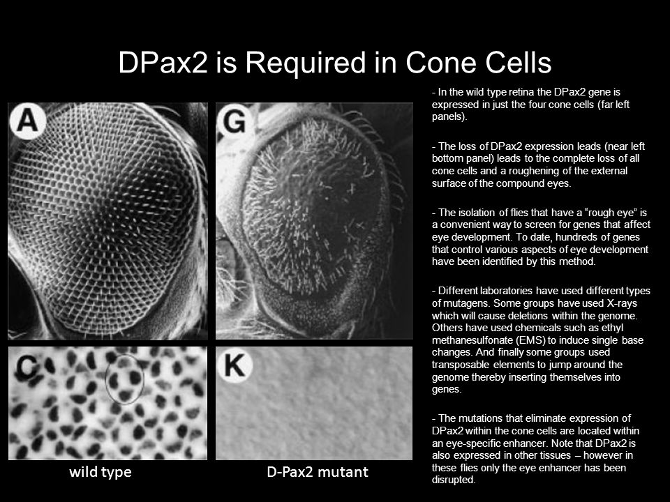 DPax2 is Required in Cone Cells