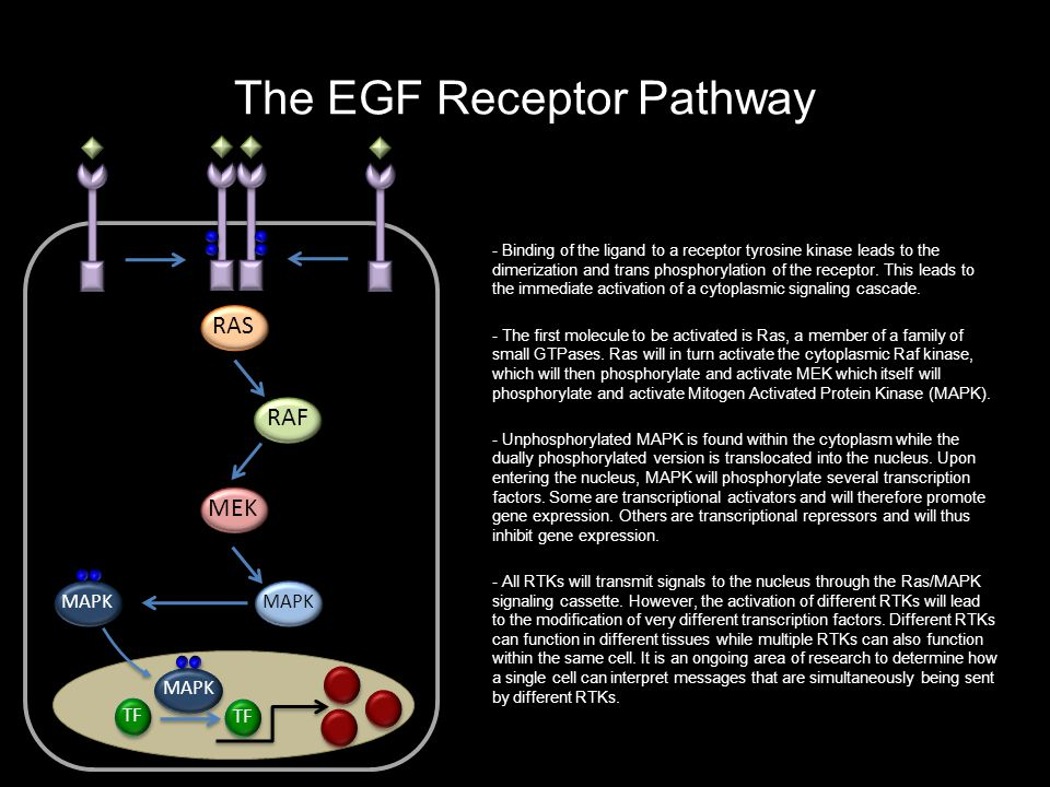 The EGF Receptor Pathway