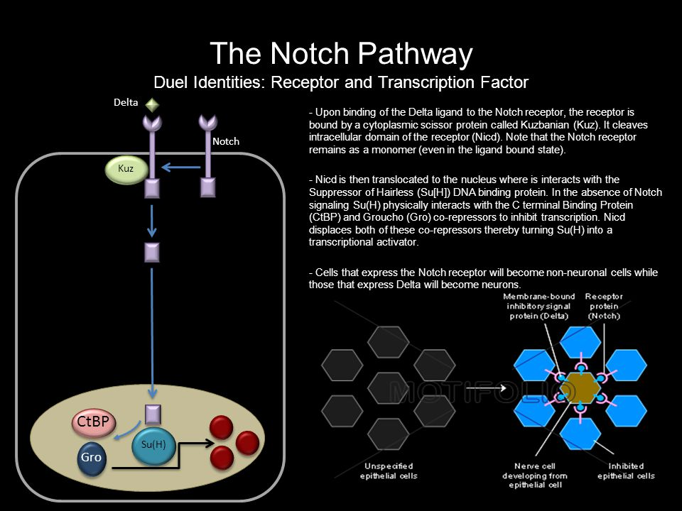 The Notch Pathway Duel Identities: Receptor and Transcription Factor