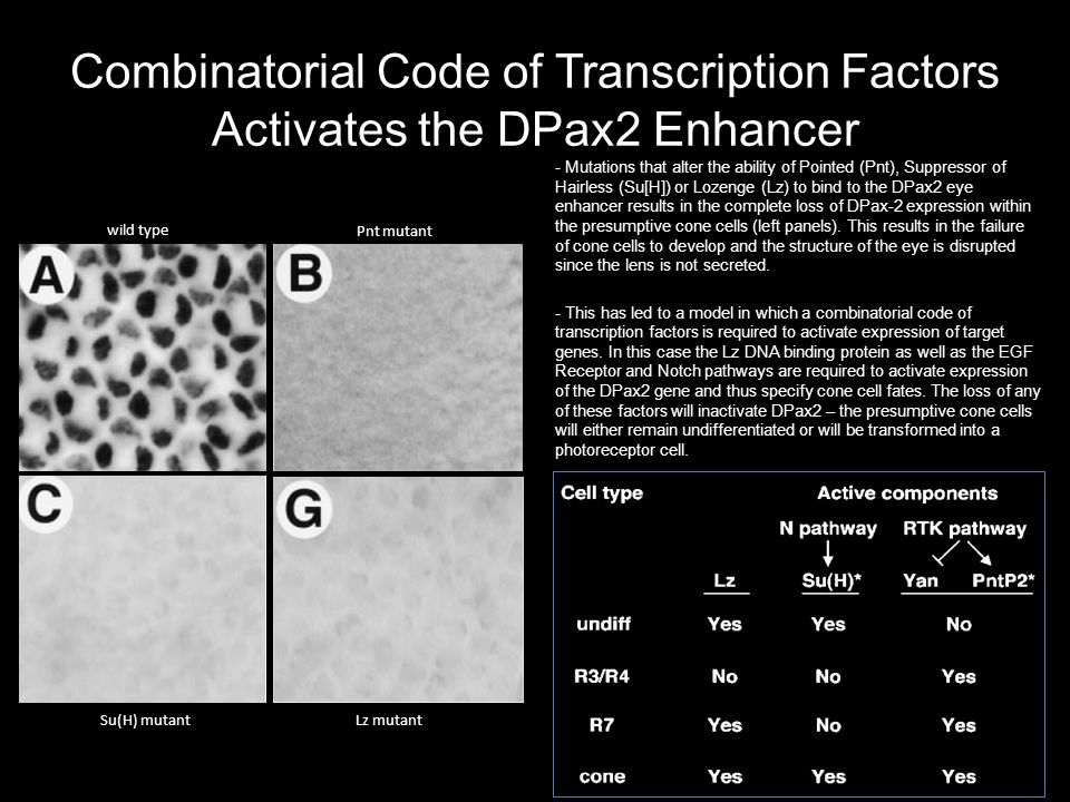 Combinatorial Code of Transcription Factors Activates the DPax2 Enhancer