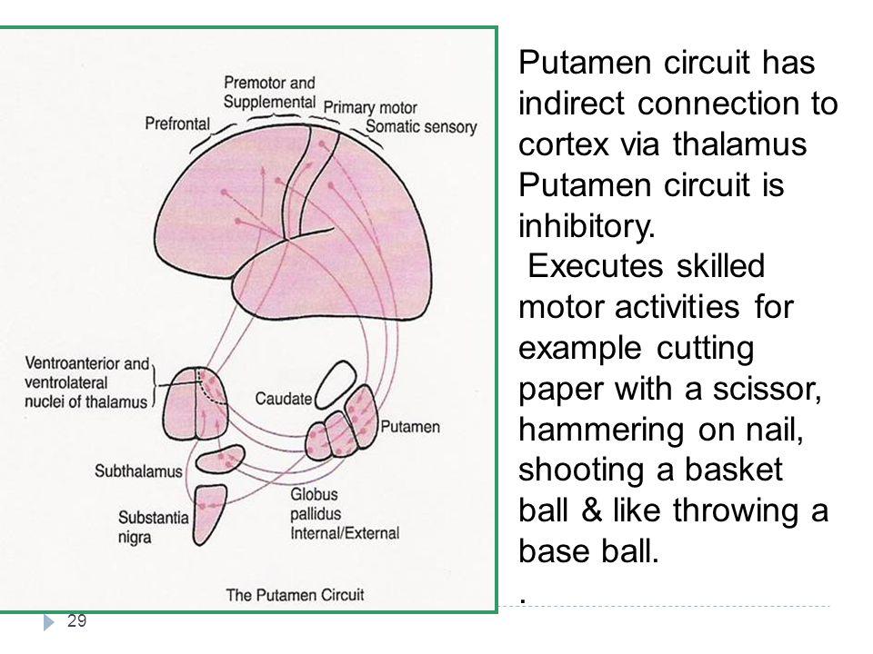 Putamen circuit has indirect connection to cortex via thalamus