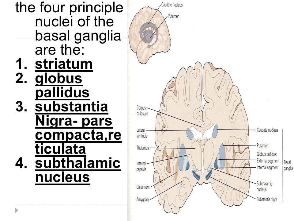 the four principle nuclei of the basal ganglia are the: