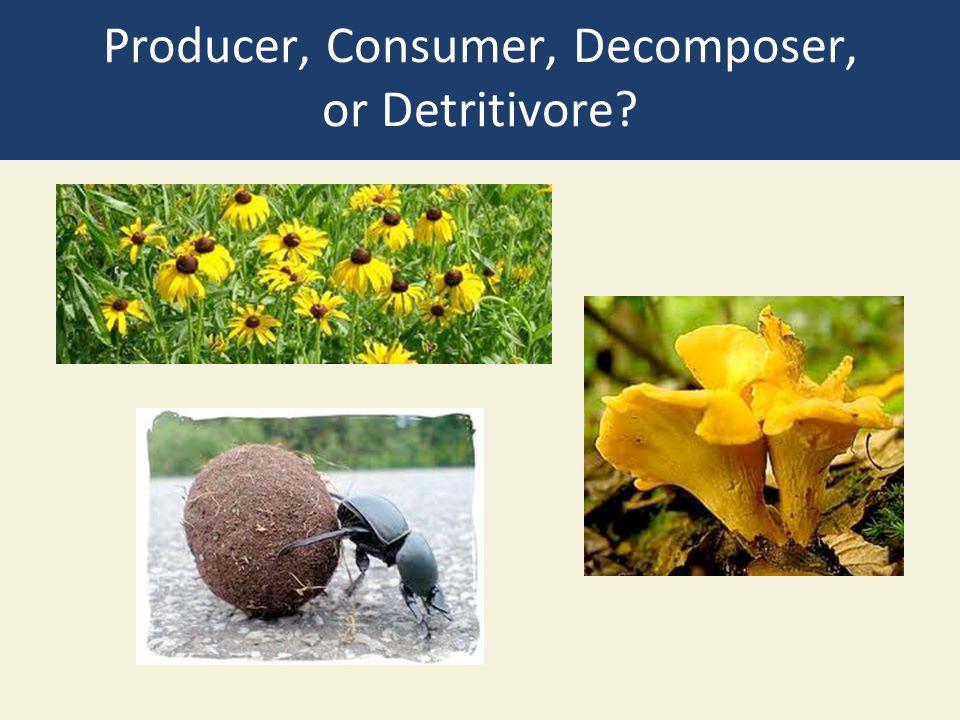 Producer, Consumer, Decomposer, or Detritivore
