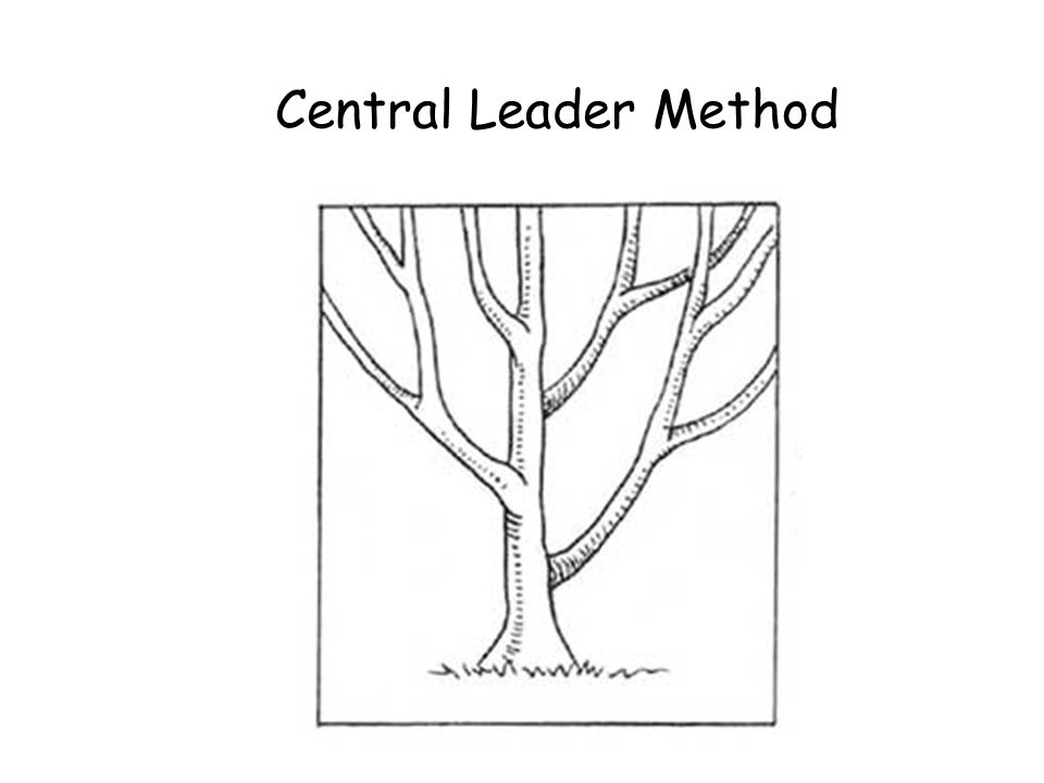 Central Leader Method Central Leader Method © Ron LaFond 2006