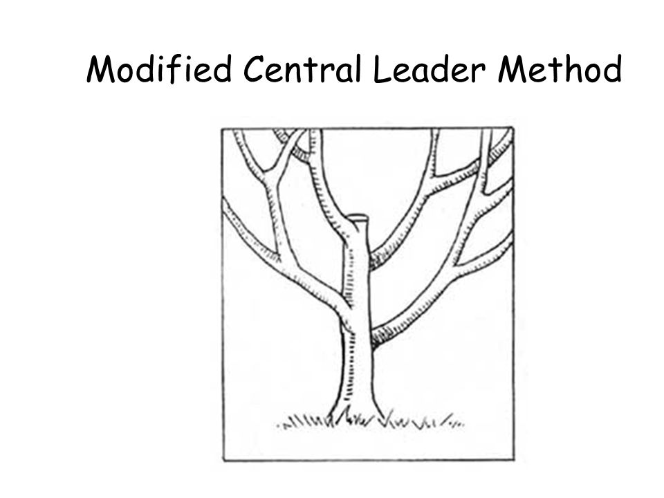 Modified Central Leader Method