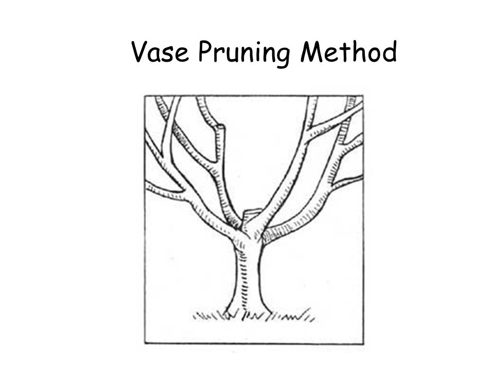 Vase Pruning Method Vase Pruning Method © Ron LaFond 2006