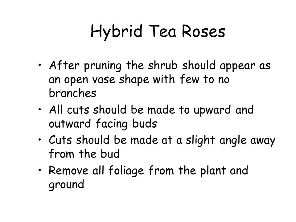 Hybrid Tea Roses After pruning the shrub should appear as an open vase shape with few to no branches.