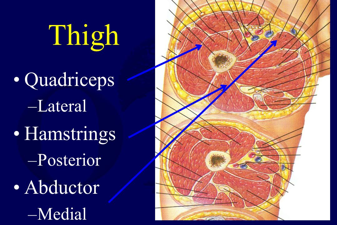Thigh Quadriceps Lateral Hamstrings Posterior Abductor Medial