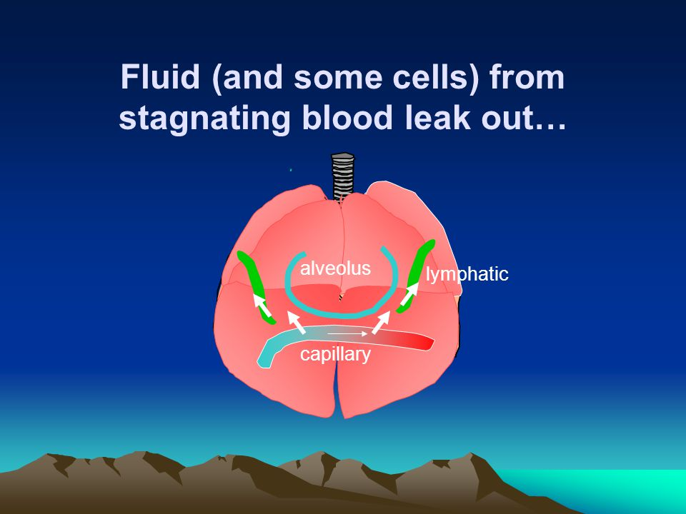 Fluid (and some cells) from stagnating blood leak out…