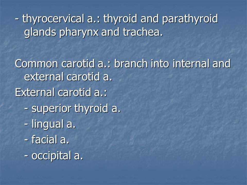 - thyrocervical a.: thyroid and parathyroid glands pharynx and trachea.