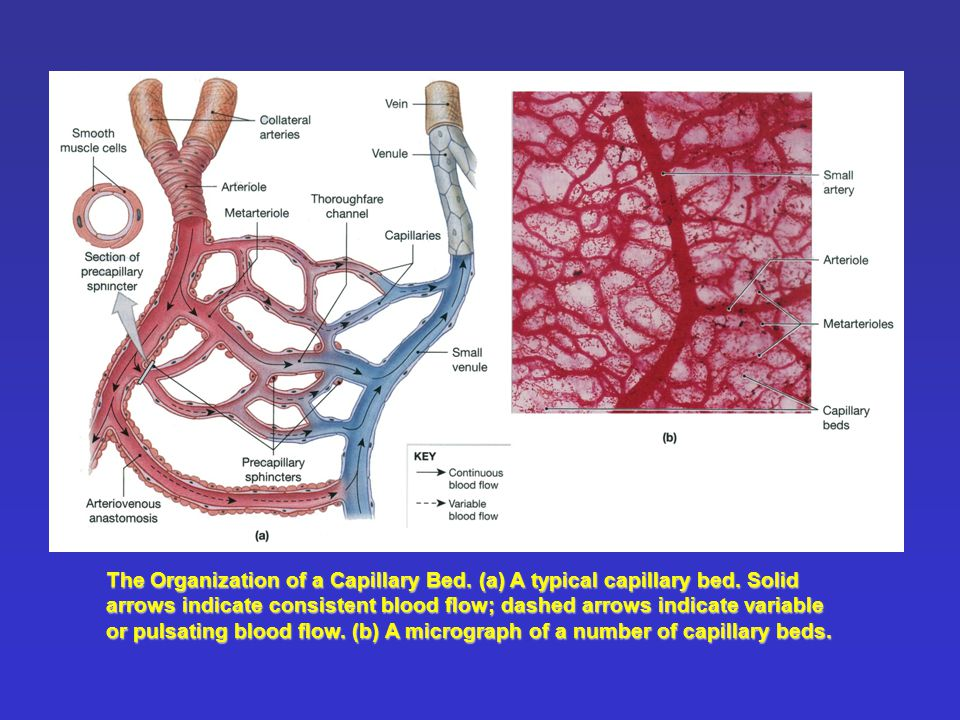 The Organization of a Capillary Bed. (a) A typical capillary bed