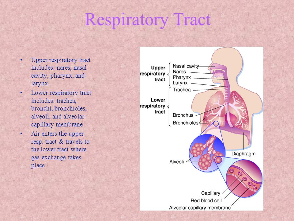 Respiratory Tract Upper respiratory tract includes: nares, nasal cavity, pharynx, and larynx.