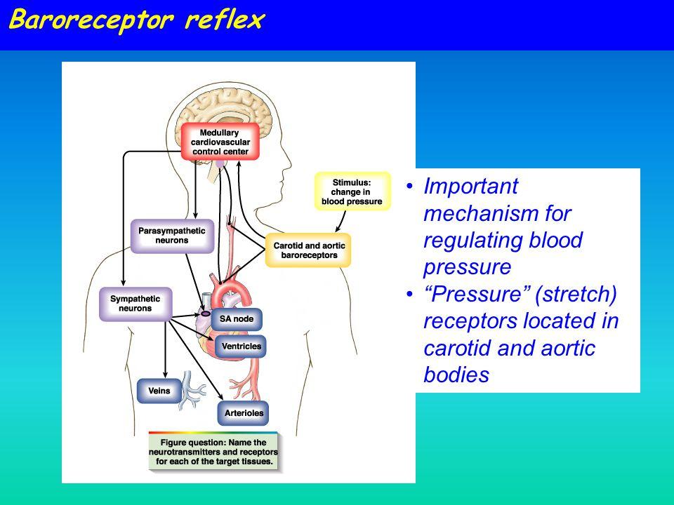 Baroreceptor reflex Important mechanism for regulating blood pressure