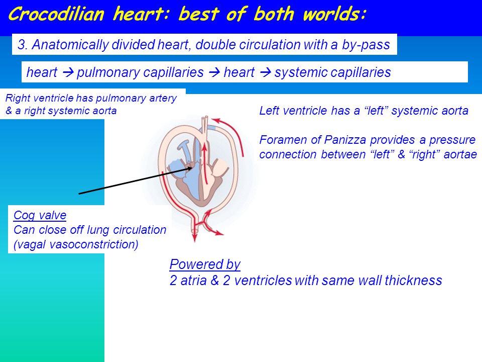 Crocodilian heart: best of both worlds: