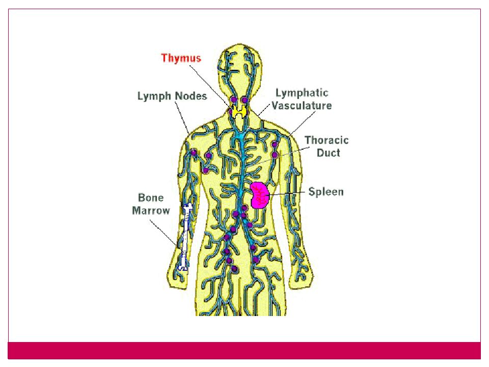 Spleen like a large lymph node, helps filter and clean debris.