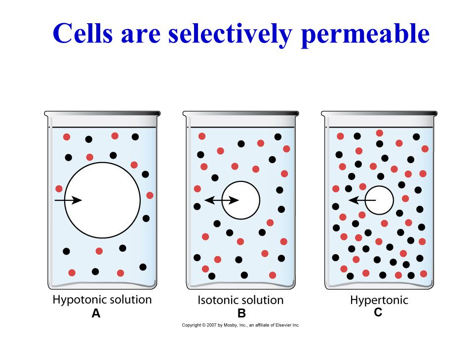 Cells are selectively permeable
