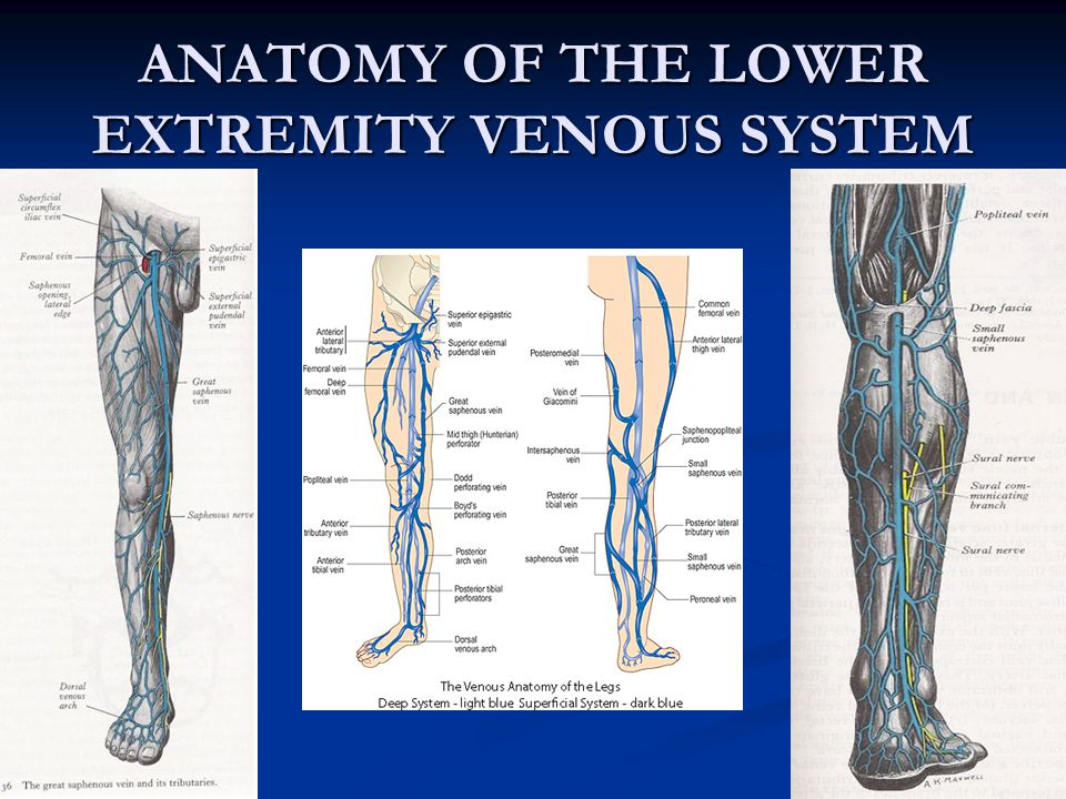 ANATOMY OF THE LOWER EXTREMITY VENOUS SYSTEM