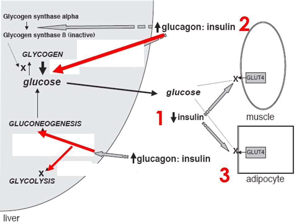 2 1. Declining insulin prdn lowers the insulin:glucagon ratio-->leads to xs gluc prodn via glycogenolysis.
