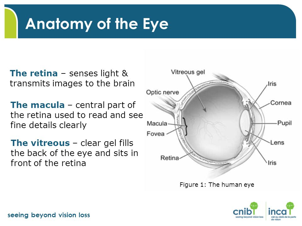 Anatomy of the Eye The retina – senses light & transmits images to the brain.