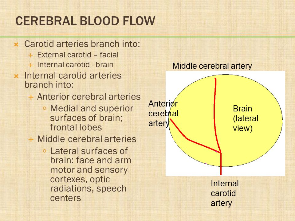 Cerebral Blood Flow Carotid arteries branch into: