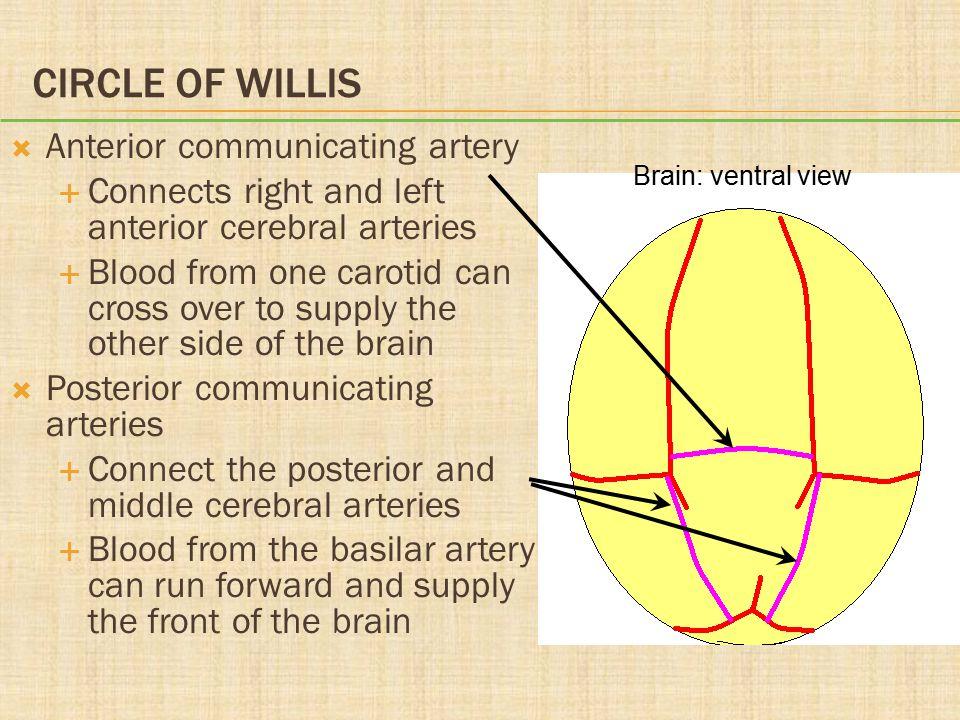 Circle of Willis Anterior communicating artery