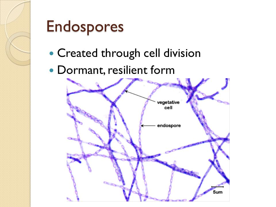 Endospores Created through cell division Dormant, resilient form