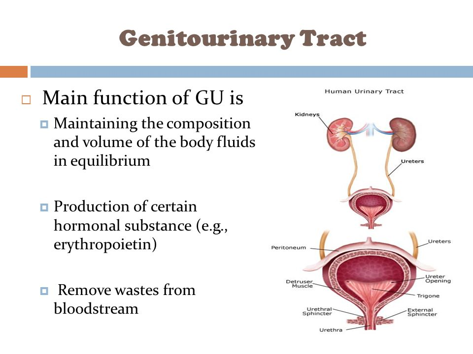 Genitourinary Tract Main function of GU is