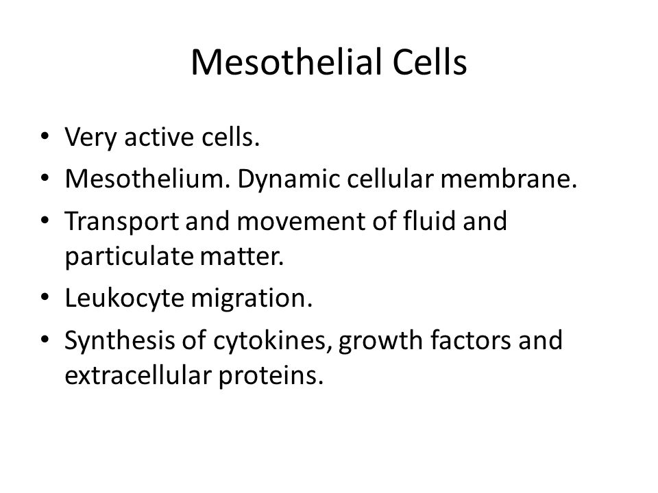 Mesothelial Cells Very active cells.