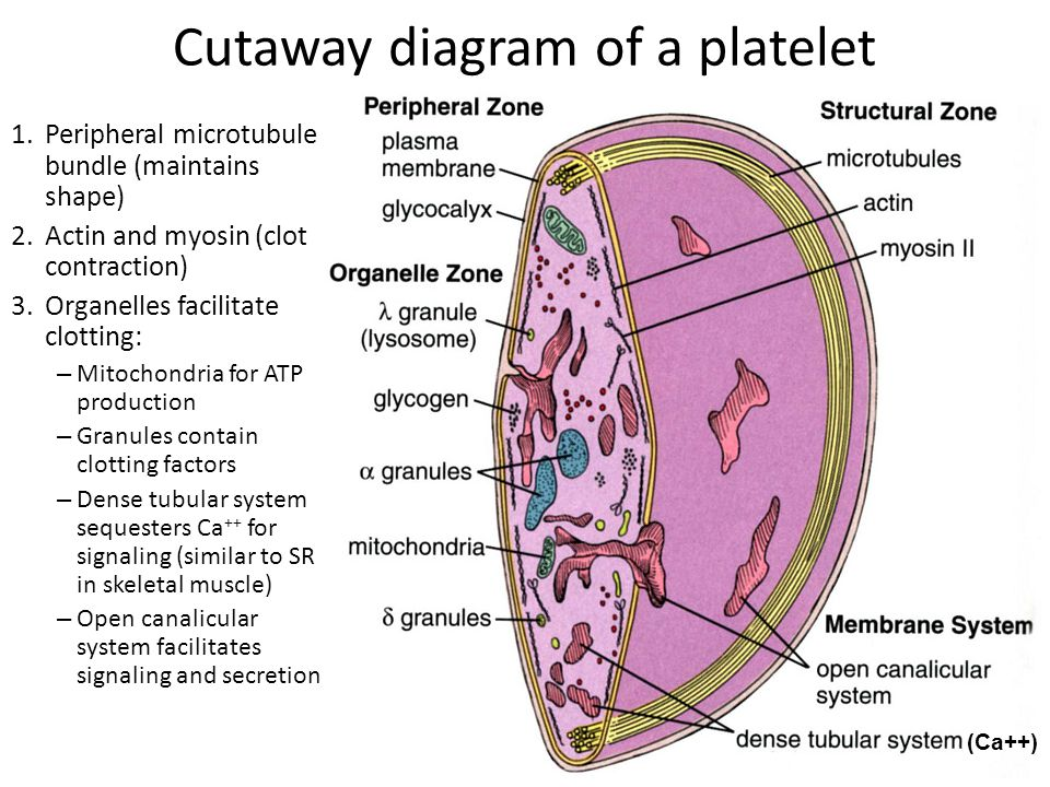Cutaway diagram of a platelet
